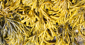 Channelled wrack. Pelvetia canaliculata,  seaweed Royalty Free Stock Images
