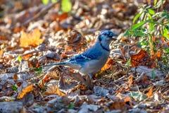 Chanson de chant de geai bleu dans le matin photographie stock