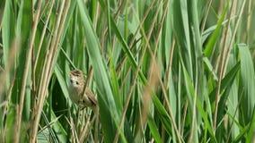 Chant d'oiseau de Reed Warbler (scirpaceus d'Acrocephalus) banque de vidéos