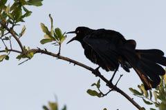Chant de corneille (corone de Corvus) Photographie stock libre de droits
