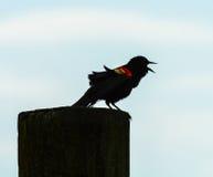 Chant de merle à ailes rouges Photo stock