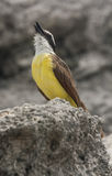 Chant grand de Kiskadee Photos stock
