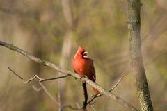 Chant nordique de cardinal Photo libre de droits