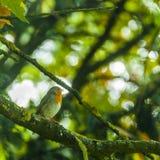 Chant Robin Photos stock