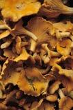 Chantarelle蘑菇 库存图片