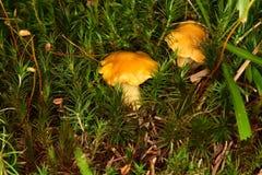 Chantarelles в лесе Стоковые Фото