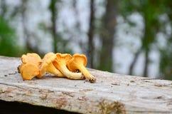 Chantarelles & x28; 鸡油菌属cibarius& x29; 图库摄影