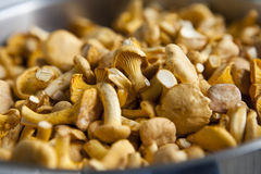 Chantarelles Stock Photo
