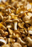 Chantarelles Stock Images