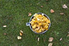Chantarelles amarelos recentemente escolhidos Fotos de Stock