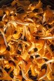 Chantarelles on a dryer. Orange delicious big chantarelles on a dryer Stock Images