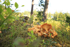 Chantarelles in a pile Stock Image