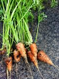 Chantenay Carrots Royalty Free Stock Photo