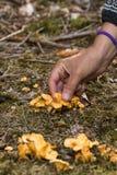 Chanterell vermehrt sich in den Waldboden und in eine menschliche Hand explosionsartig, die es sammelt, vertikal Lizenzfreie Stockfotos