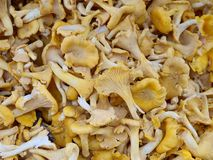 Chanterelle. Pile of chanterelle in different sizes Royalty Free Stock Photos