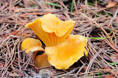 Chanterelle Royalty Free Stock Image
