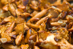 Chanterelle Stock Image