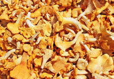 chanterelle Obraz Royalty Free