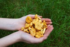 chanterelle obrazy royalty free