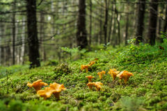 Chanterelle Photos stock