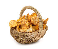 Chanterelle in basket Stock Photography