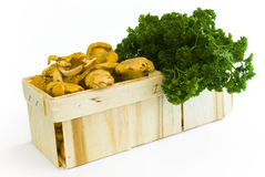 Chanterelle basket and parsley. Wooden basket with chanterelles and parsley royalty free stock images