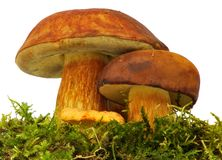 Chanterelle and bolete Royalty Free Stock Photography