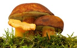 Chanterelle and bolete Royalty Free Stock Images