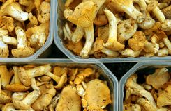 Chanterelle in containers. Fresh chanterelle in plastic containers Stock Photography