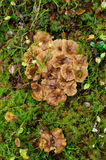 Chanterelle d'entonnoir Image stock