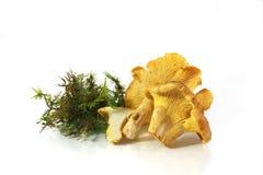Chanterelle de champignon Images stock