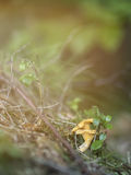 Chanterelle in Forest Royalty Free Stock Photos