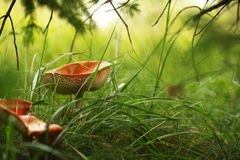 Chanterelle in the forest. Waiting for you Royalty Free Stock Photos
