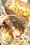Chanterelle or girolle harvest. Cantharellus cibarius Stock Photos