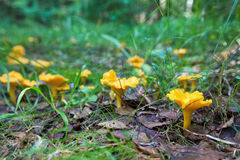 Chanterelle in the grass Royalty Free Stock Images