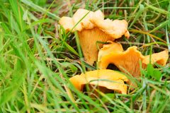 Chanterelle in grass Royalty Free Stock Photography