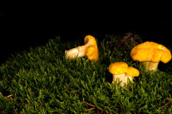 Chanterelle Royalty Free Stock Images