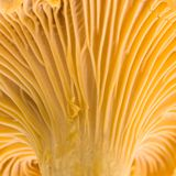 Chanterelle. Macro Stock Images