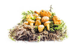 Chanterelle and Moss Isolated on White Royalty Free Stock Photos