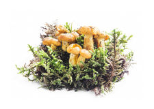 Chanterelle and Moss Isolated on White Royalty Free Stock Photography