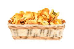 Chanterelle mushroom in basket Stock Images