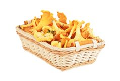 Chanterelle mushroom in basket Stock Photo
