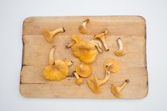 Fresh chanterelle mushroom direct from the forest. Chanterelle mushroom direct from the forest royalty free stock image