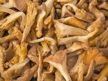 Chanterelle mushroom Stock Image