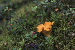 Chanterelle mushroom in green moss forest Stock Images