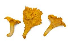 Chanterelle mushroom Stock Photography