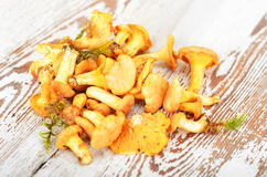 Chanterelle mushroom Royalty Free Stock Photo