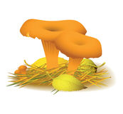 Chanterelle mushroom. Vector illustration of mushroom Chanterelle stock illustration