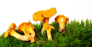 Chanterelle mushrooms Royalty Free Stock Images