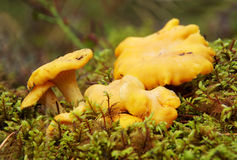 Chanterelle mushrooms Royalty Free Stock Photography